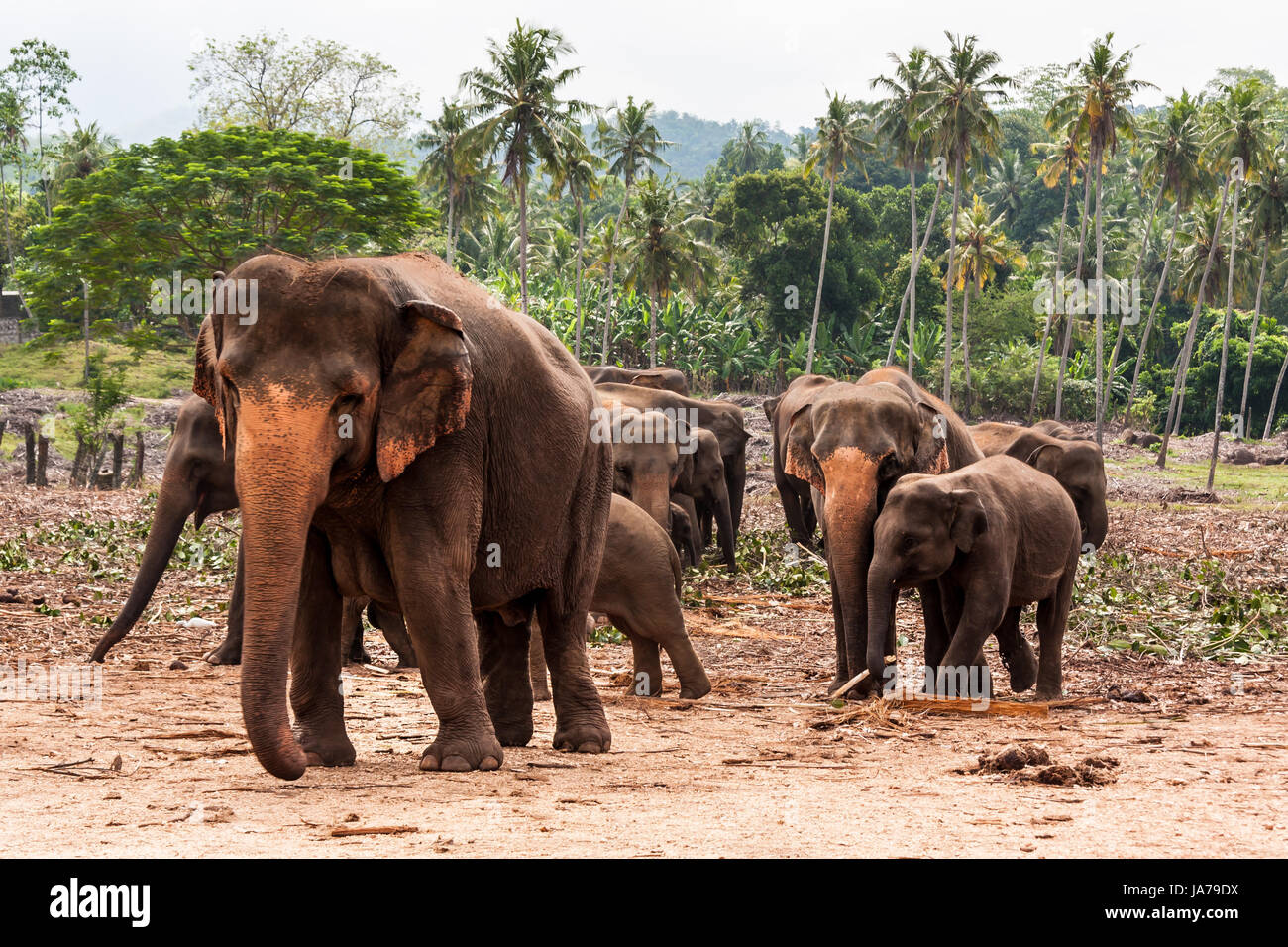 elephants - Stock Image