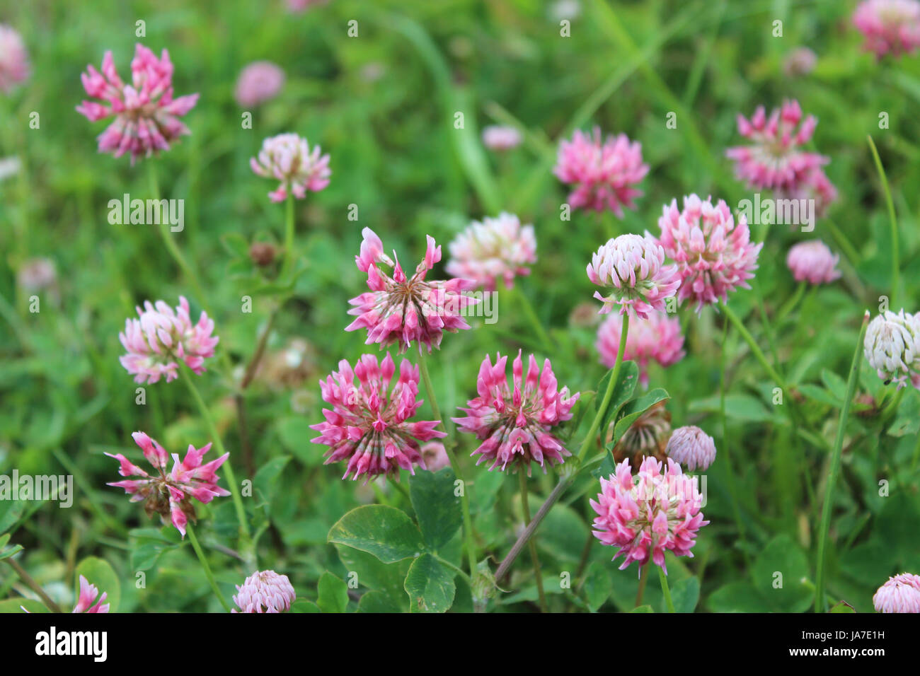 Leaf flower plant hairy clover meadow grass lawn green pink leaf flower plant hairy clover meadow grass lawn green pink natural mightylinksfo