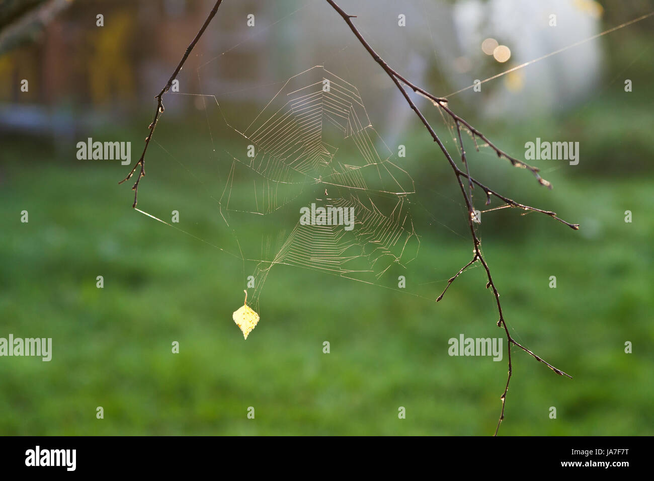autumn sun lights gossamer with yellow leaf at dawn - Stock Image
