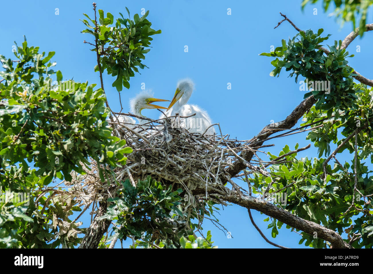Great Egret juvenile nestlings Ardea alba, interacting with each other in an oak tree nest in Oklahoma City, Oklahoma, - Stock Image