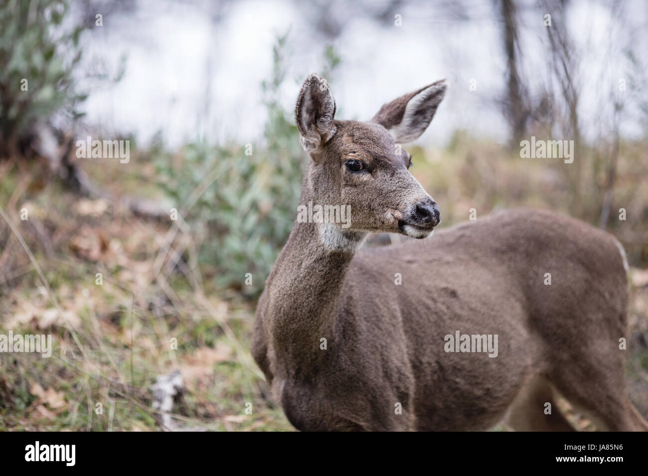 Portrait of a female deer in the wild looking at camera. - Stock Image