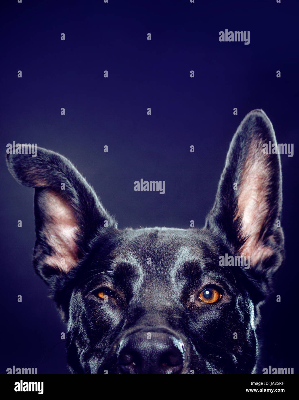 Studio portrait of German Shepherd mix -- from the eyes up-- looking directly at camera. - Stock Image