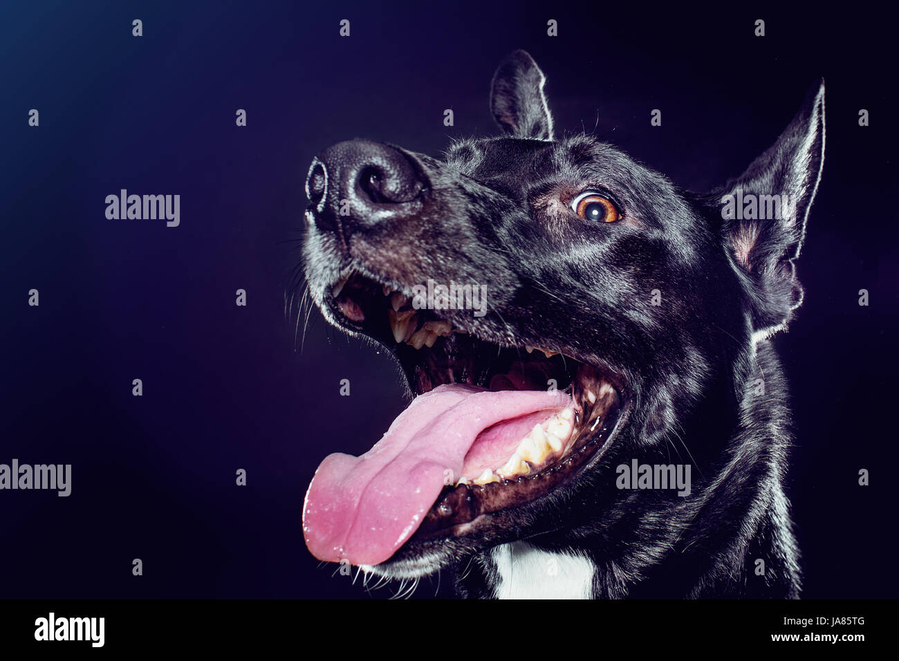 Studio profile portrait of a black German Shepherd mix looking excitedly at camera with tongue out, Stock Photo