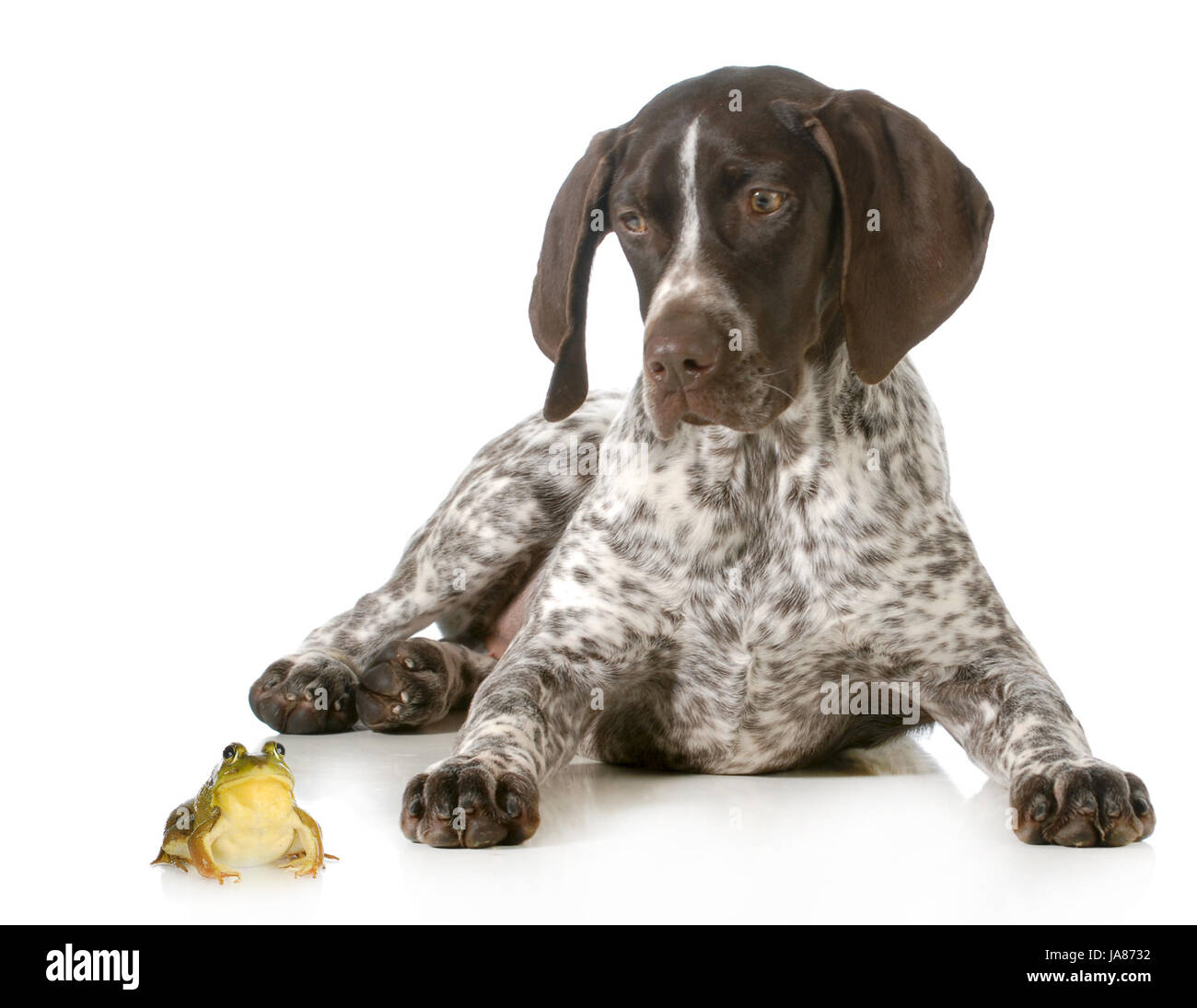dog and a bullfrog - german shorthaired pointer looking at bullfrog isolated on white background - Stock Image
