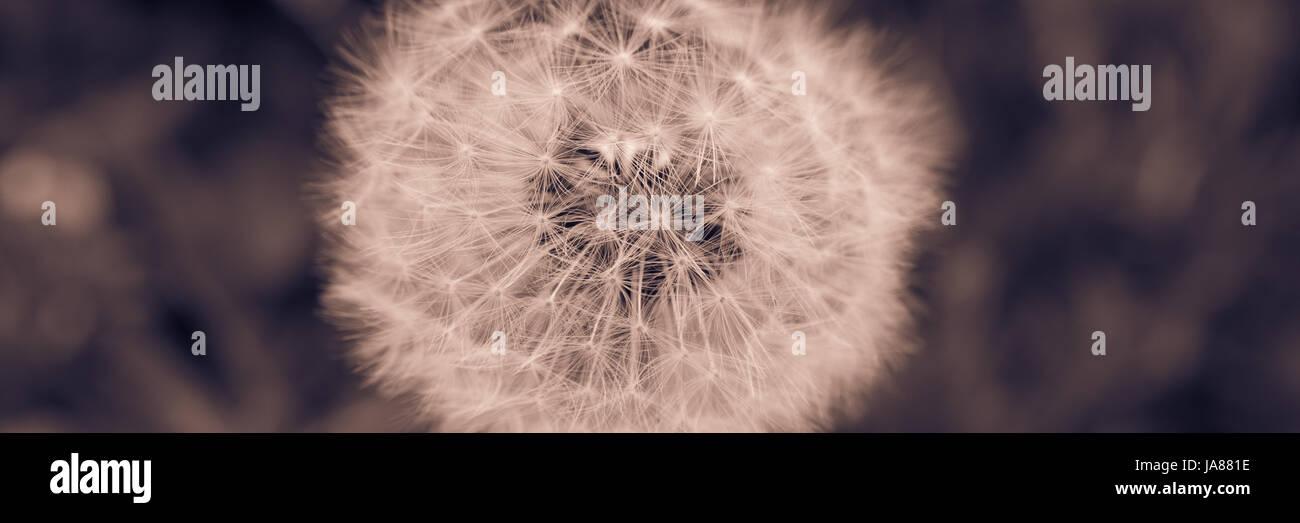 Dandelion Banner - Stock Image