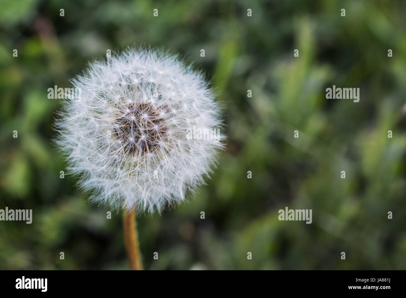 Dandelion Gone to Seed - Stock Image