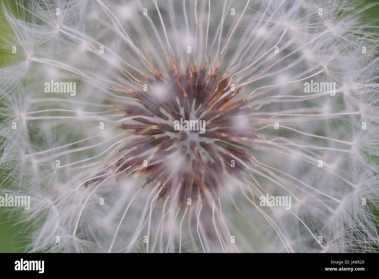 Closeup Dandelion Capitulum - Stock Image