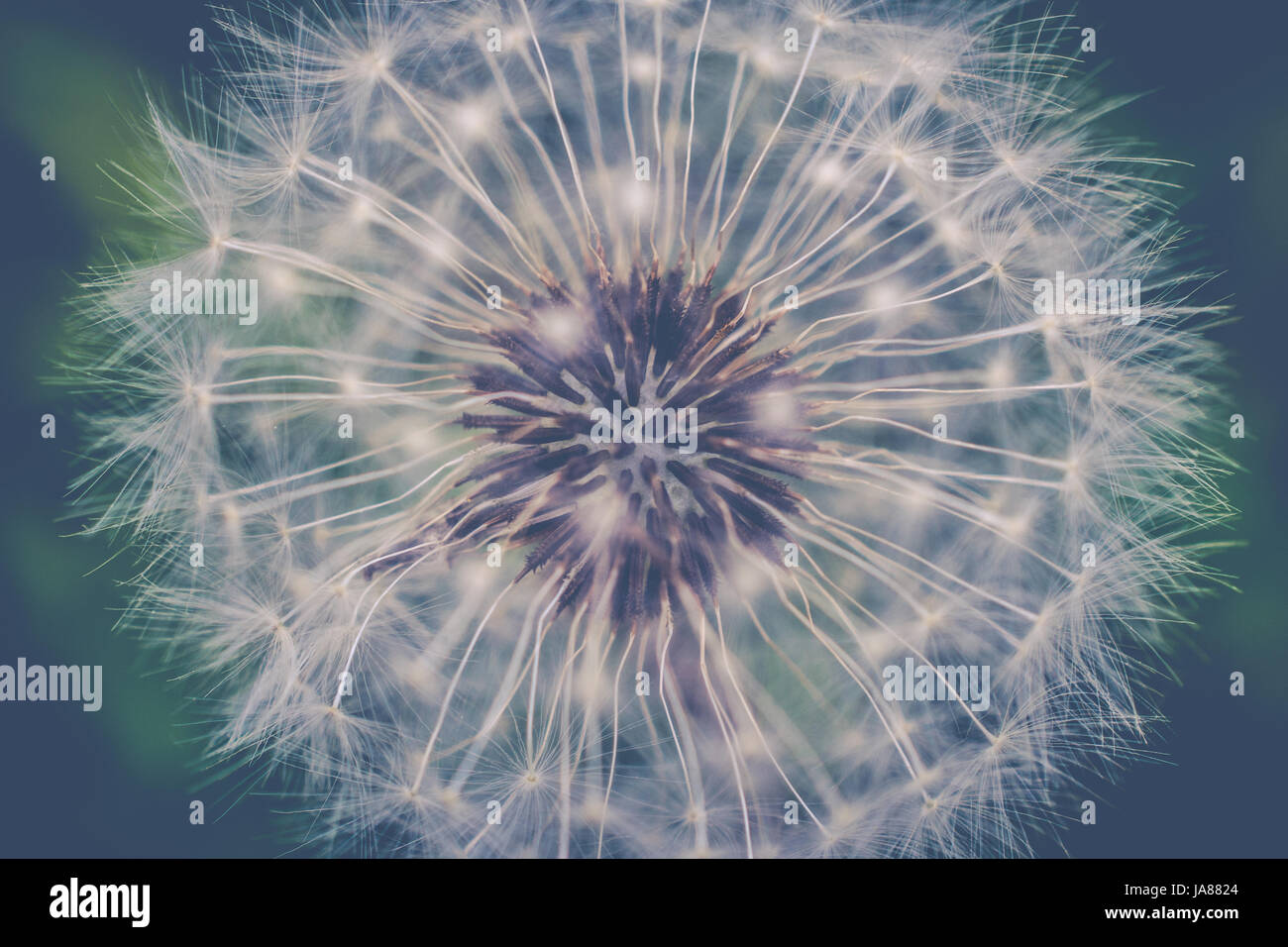 Dandelion Capitulum Close Up - Stock Image