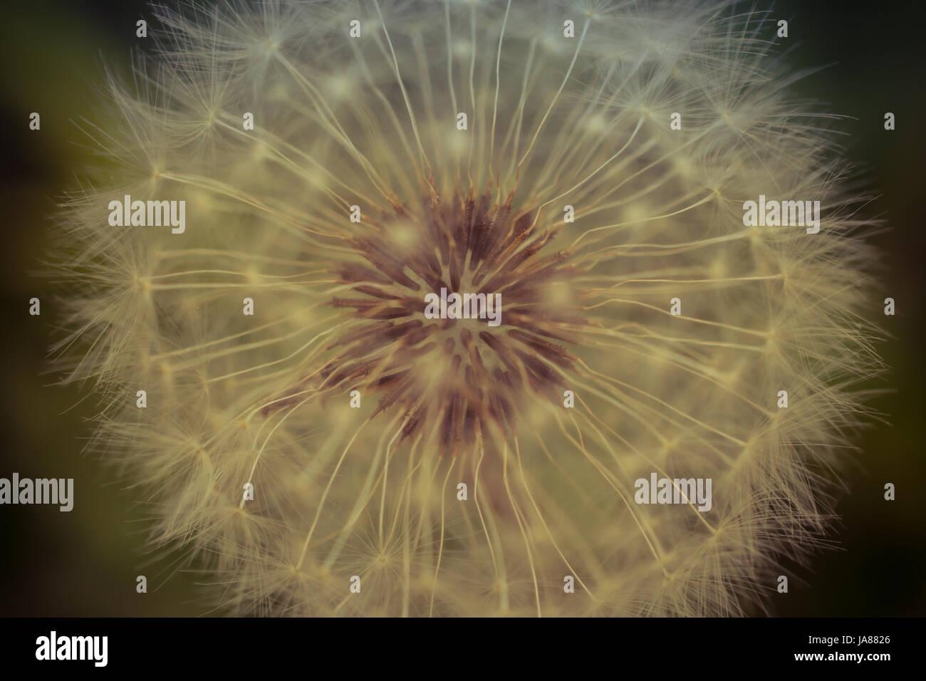 Dandelion Seed Head Macro - Stock Image