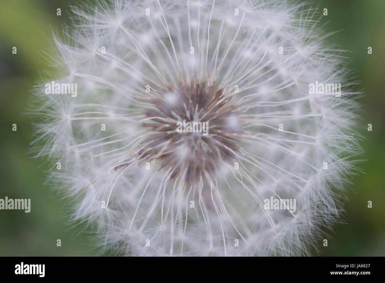 Dandelion Seed Head Up Close - Stock Image