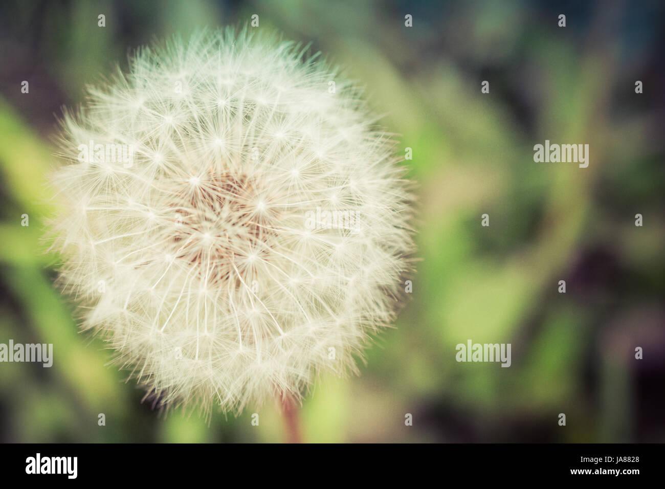 Summer Dandelion Seed Head - Stock Image