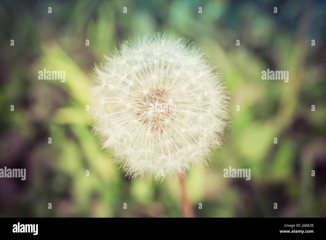 Summer Dandelion Capitulum - Stock Image