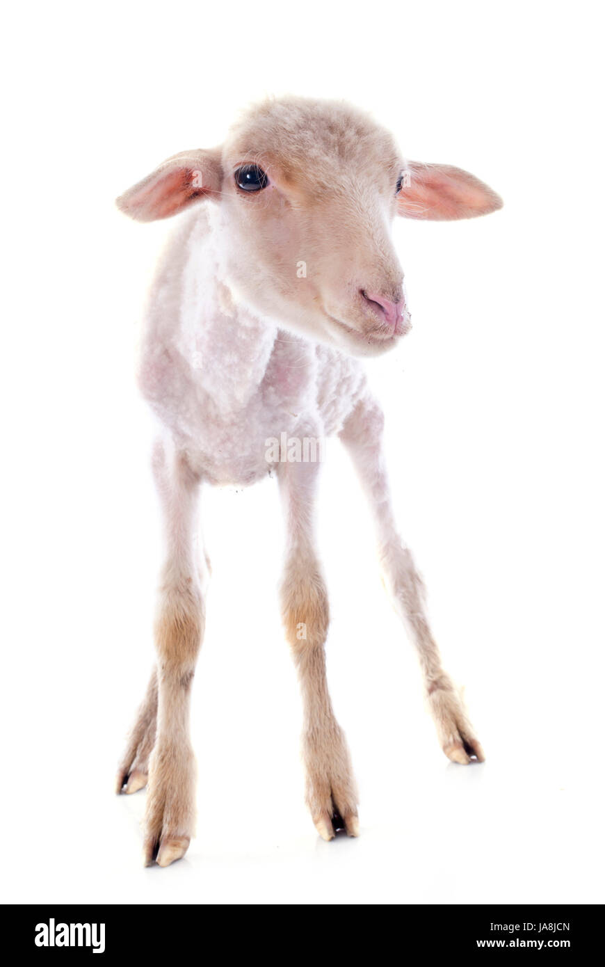 young lamb in front of white background - Stock Image