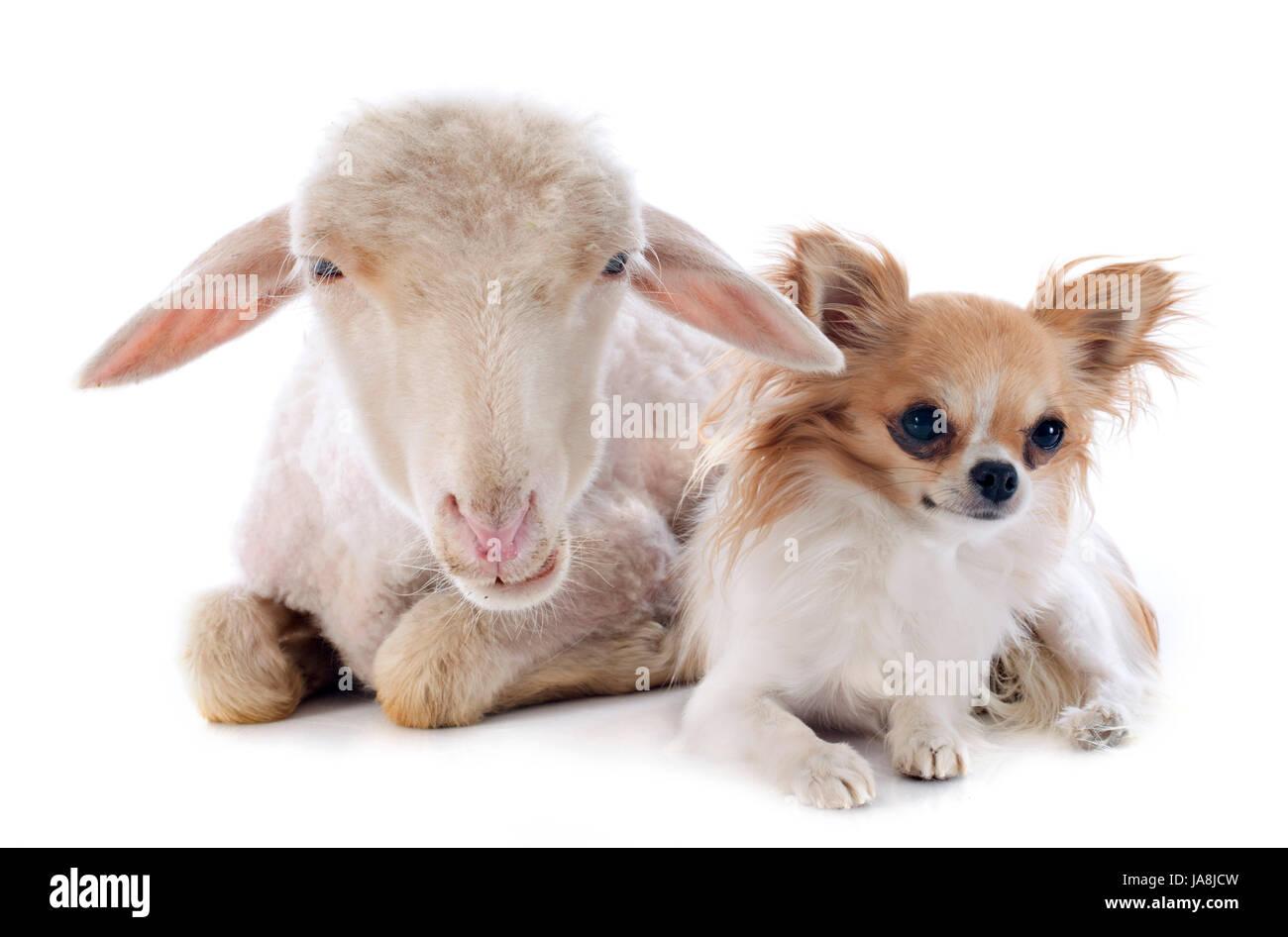 sheep, dog, three, cat baby, kitten, ewe, pussycat, cat, domestic cat, lamb, Stock Photo