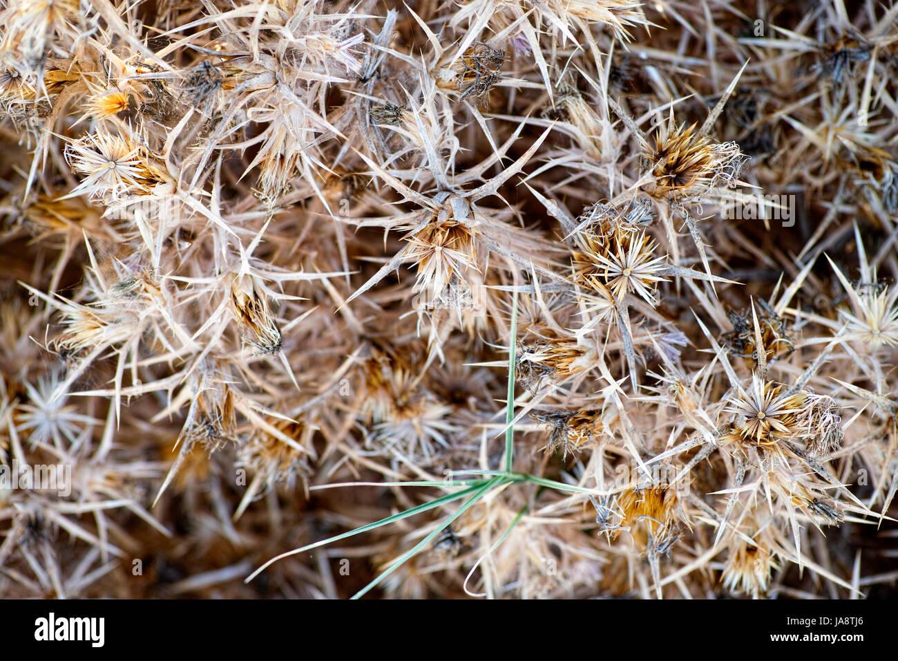 Dry prickly bush. Full frame. - Stock Image