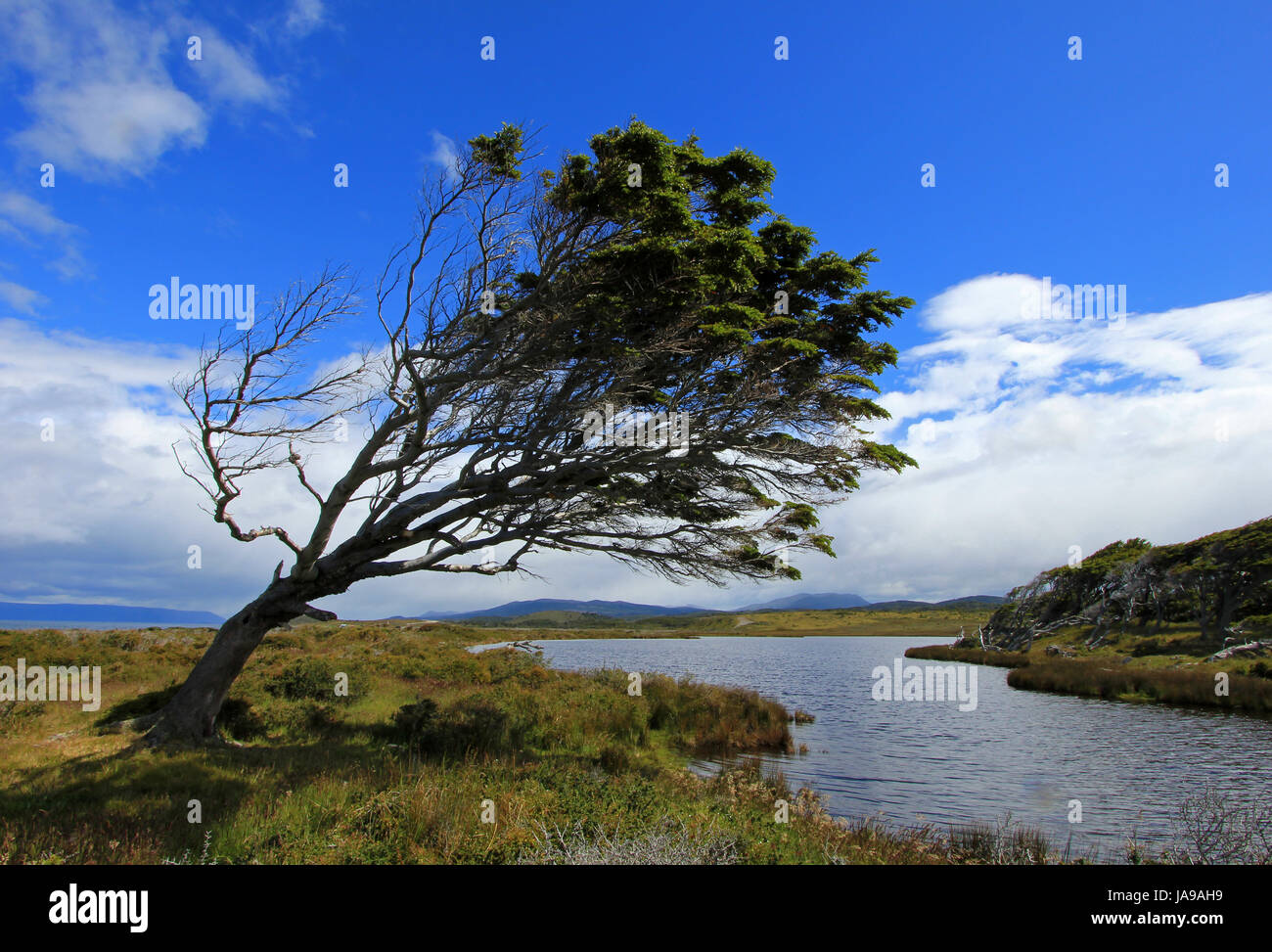 Tree deformed by wind, Patagonia, Argentina - Stock Image
