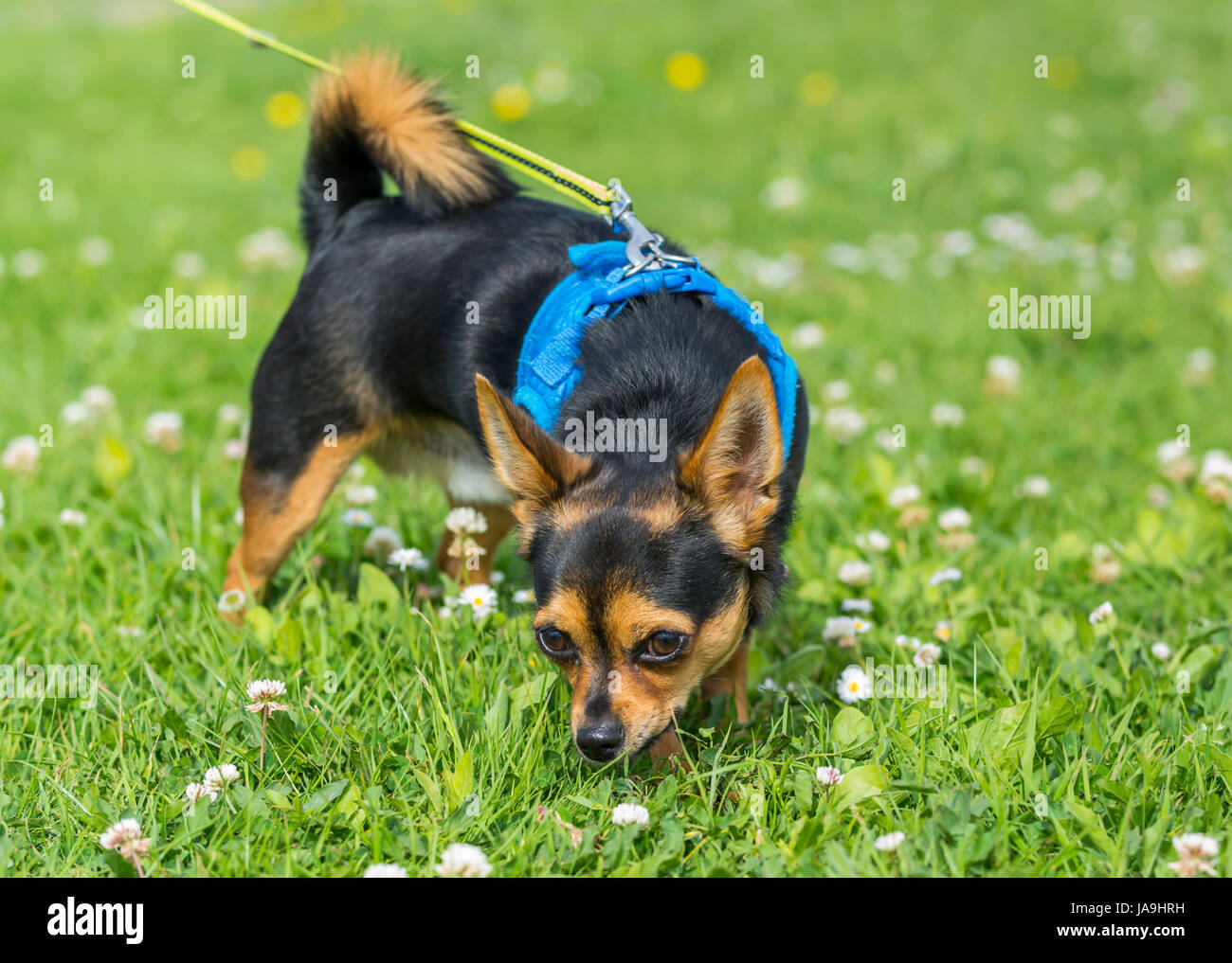 Chihuahua dog. Purebred Chihuahua dog standing on grass. - Stock Image