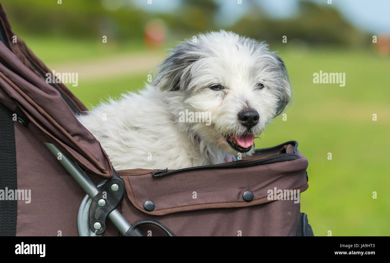 Bearded collie crossed with Yorkshire Terrier. Elderly dog in a dog pram. Dog pushchair. - Stock Image