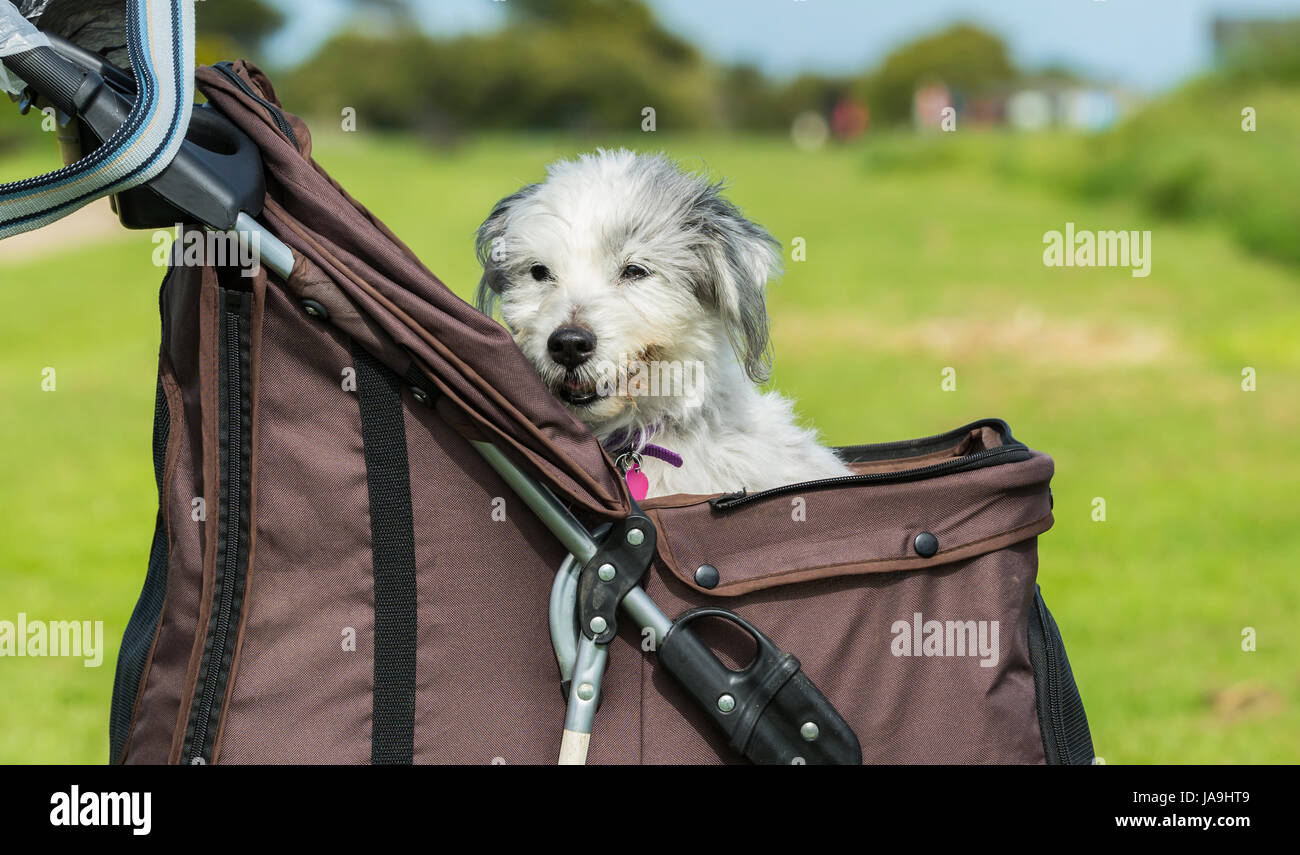 Elderly dog in a dog pushchair. Bearded collie crossed with Yorkshire Terrier. Old dog. Dog pram. - Stock Image
