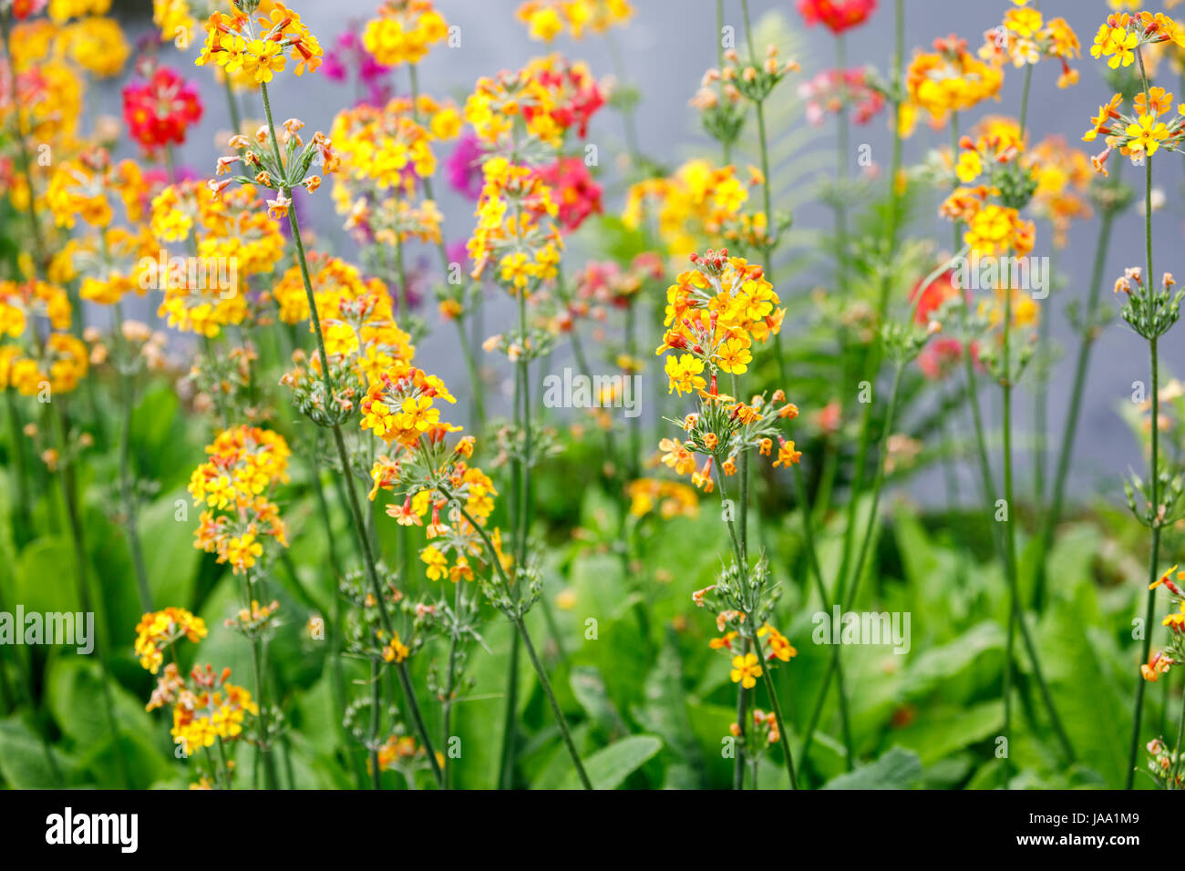 Colourful candlestick (candelabra) primulas growing, flowering in late spring early summer, RHS gardens, Wisley, - Stock Image