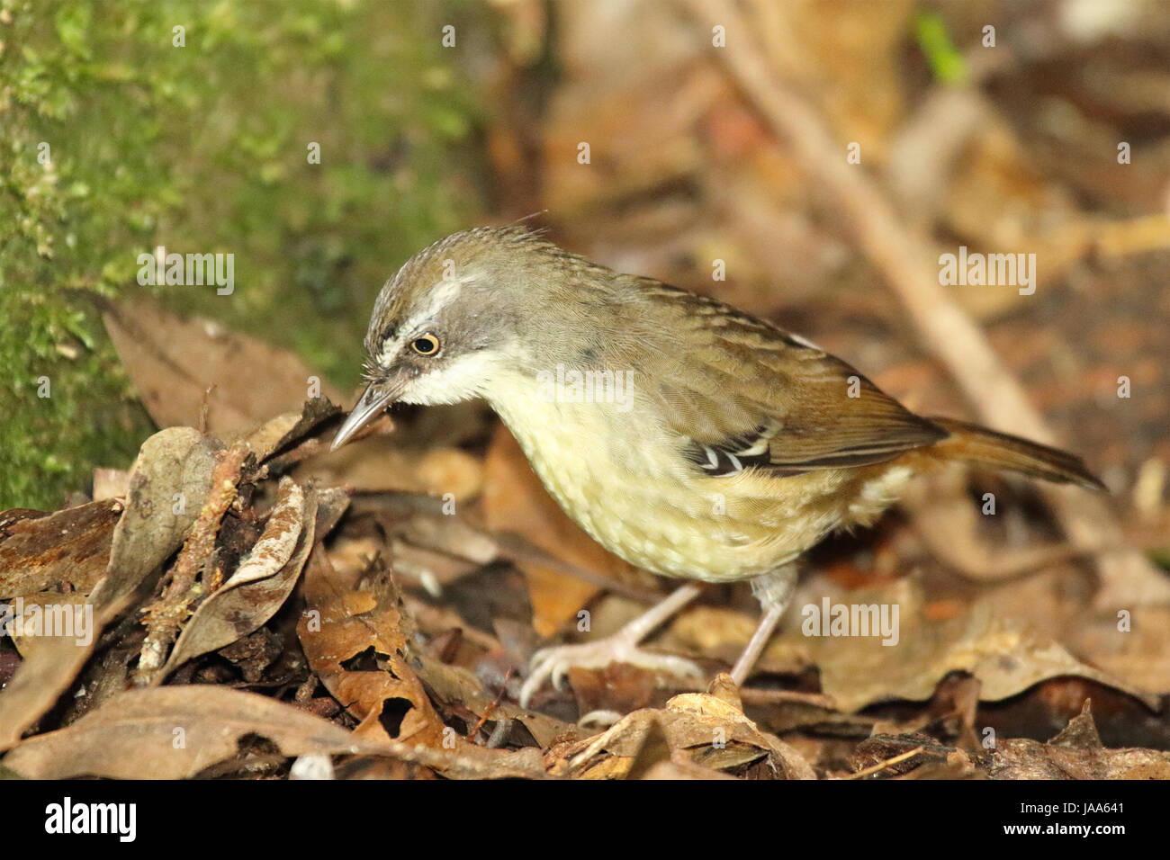 A White-browed Scrub Wren looking for food in an Australian forest. - Stock Image