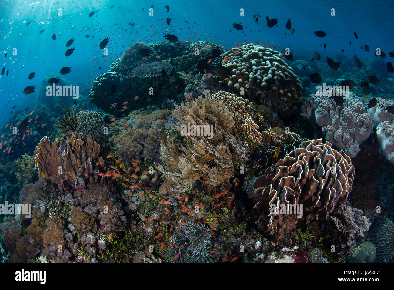 Tropical reef fish swarm over a gorgeous coral reef near Alor, Indonesia. This region harbors extraordinary marine - Stock Image