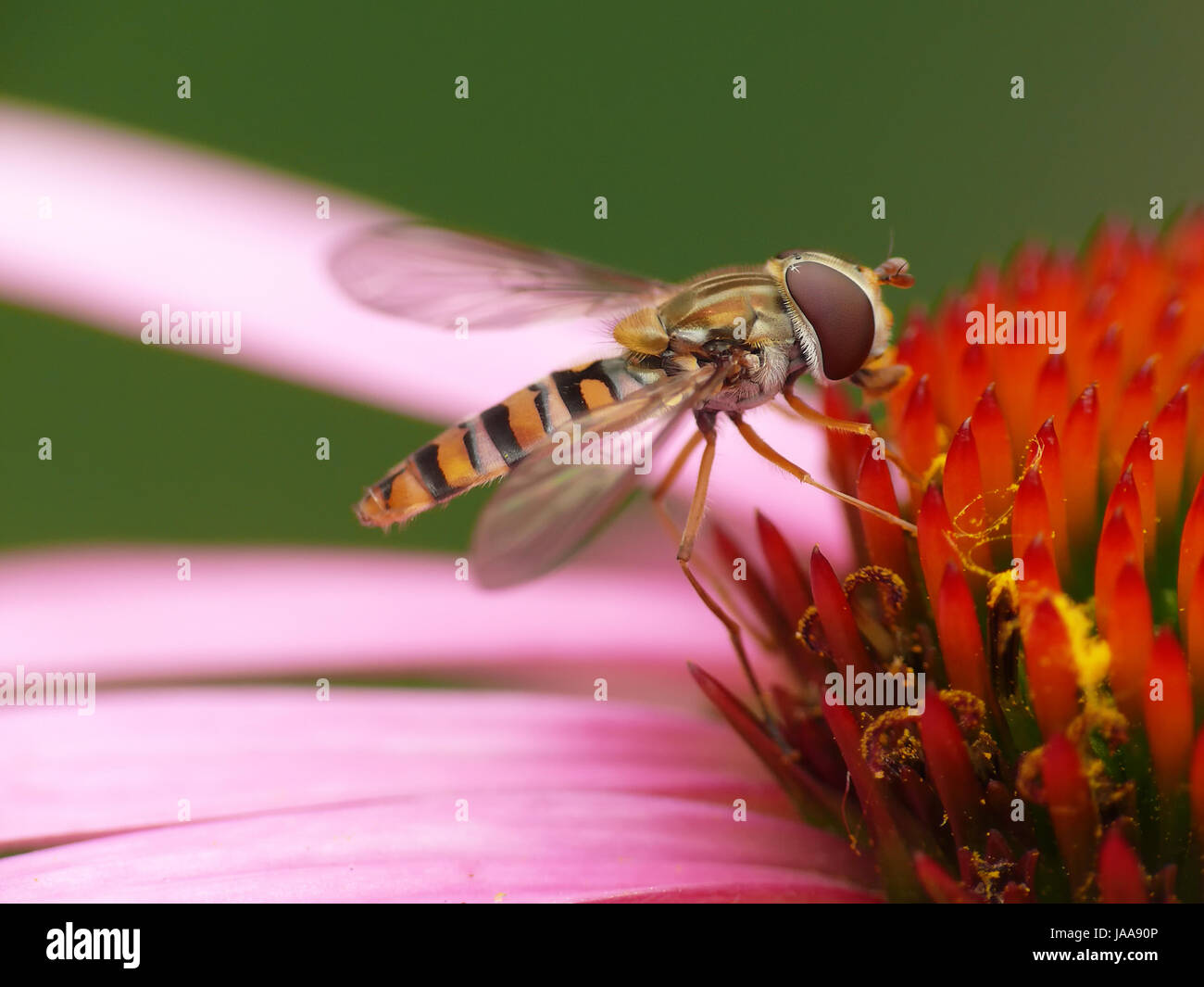 macro, close-up, macro admission, close up view, insect, fauna, bloom, blossom, - Stock Image