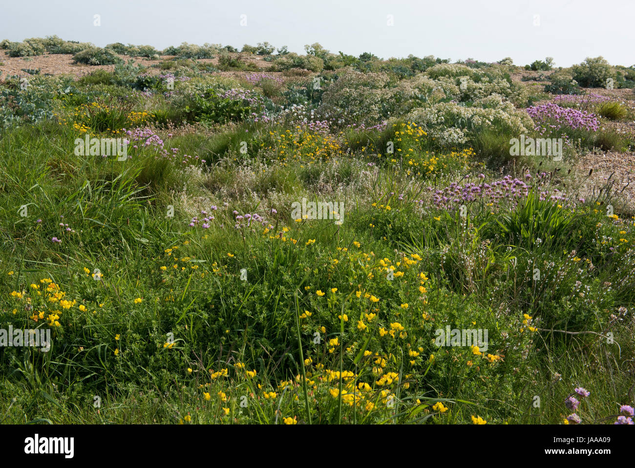 Diverse, flowering plants on the land side of Chesil Beach including, sea thrift, kale and bird's-foot trefoil - Stock Image
