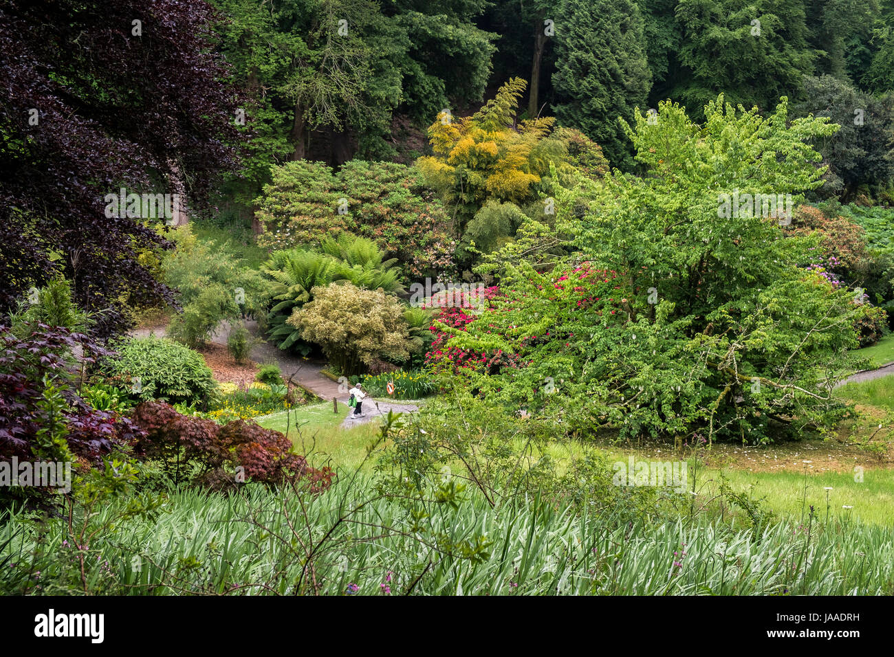 Lush foliage at the sub-tropical Trebah Garden in Cornwall. - Stock Image