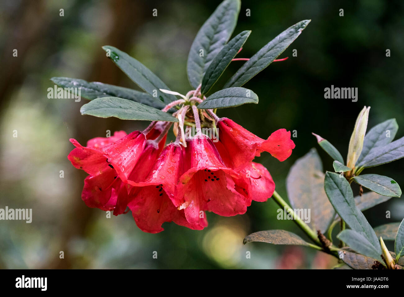 A closeup view of the flowers of a Rhododendron elegantum plant. - Stock Image