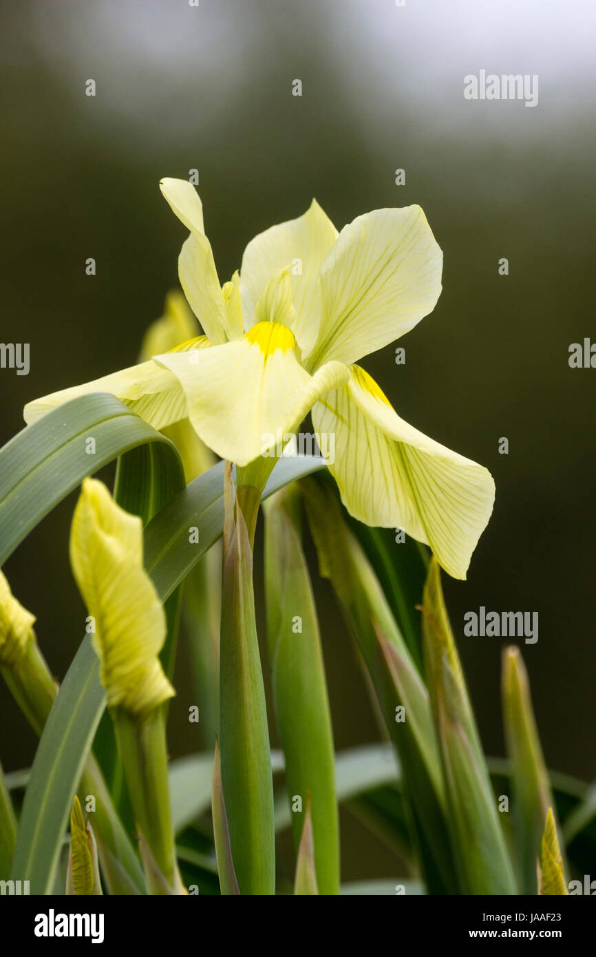 Flower of the South African iris relative, Moraea alticola, a tall hardy alpine species - Stock Image