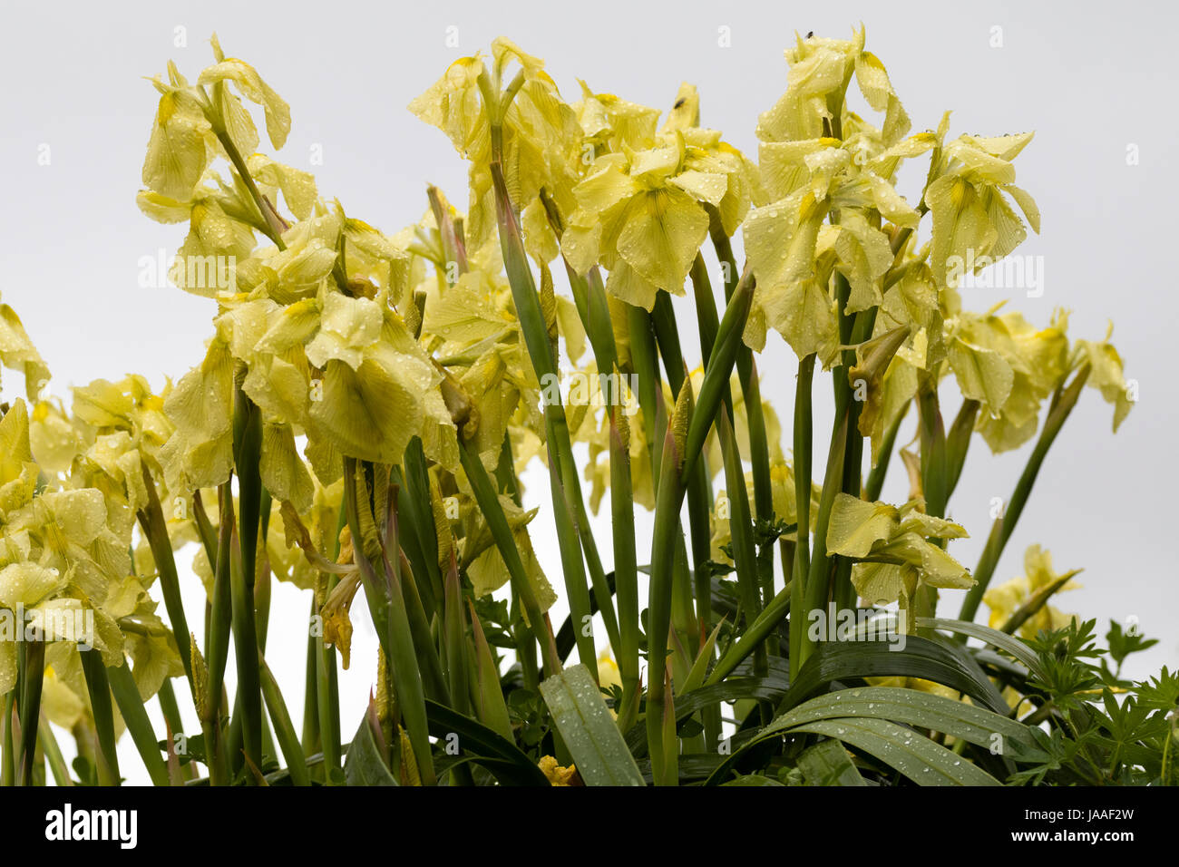 Flowers of the South African iris relative, Moraea alticola, a tall hardy alpine species - Stock Image