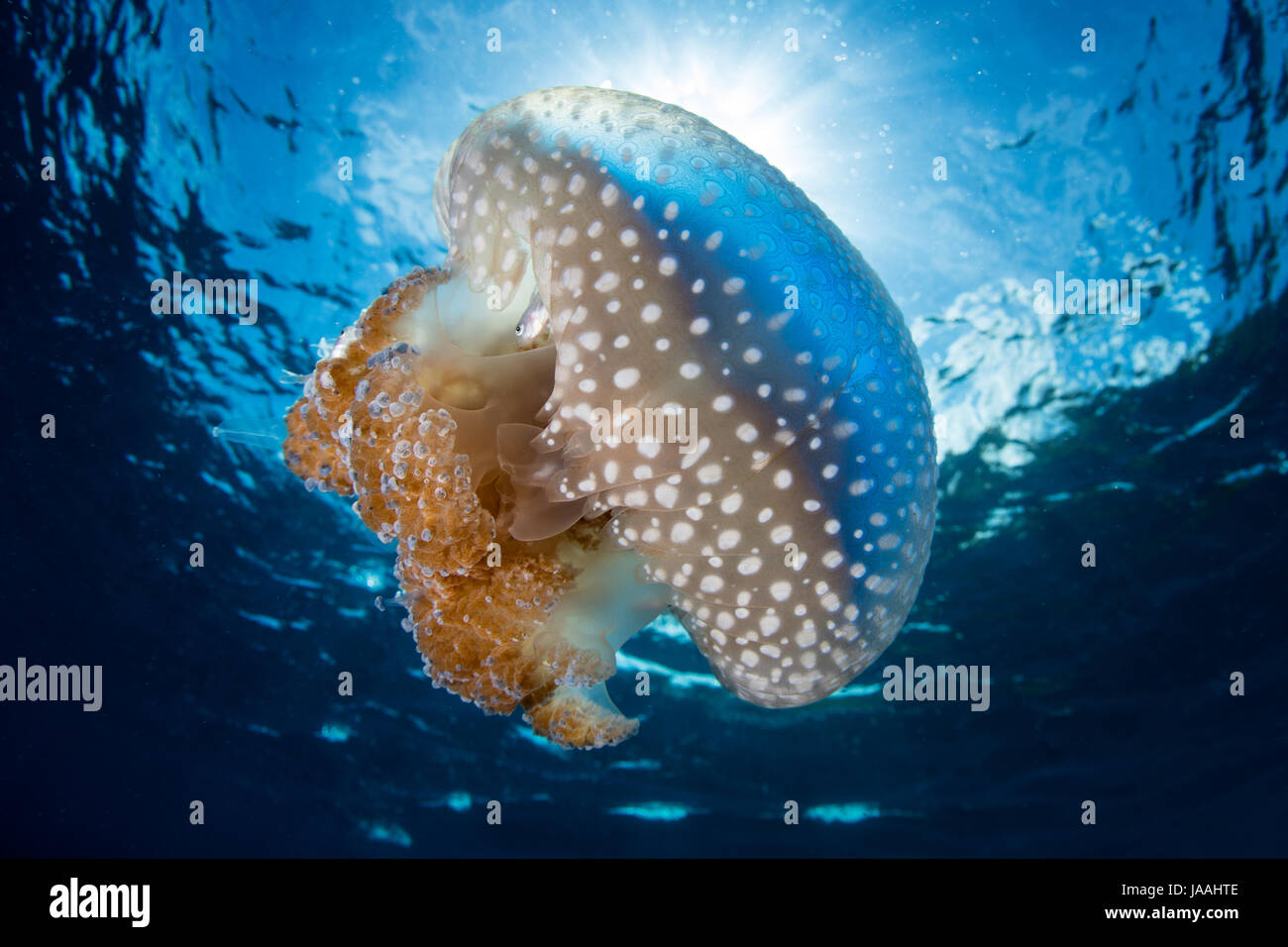 Sunlight silhouettes a beautiful jellyfish, Thysanostoma sp., as it drifts through tropical waters in Indonesia. - Stock Image