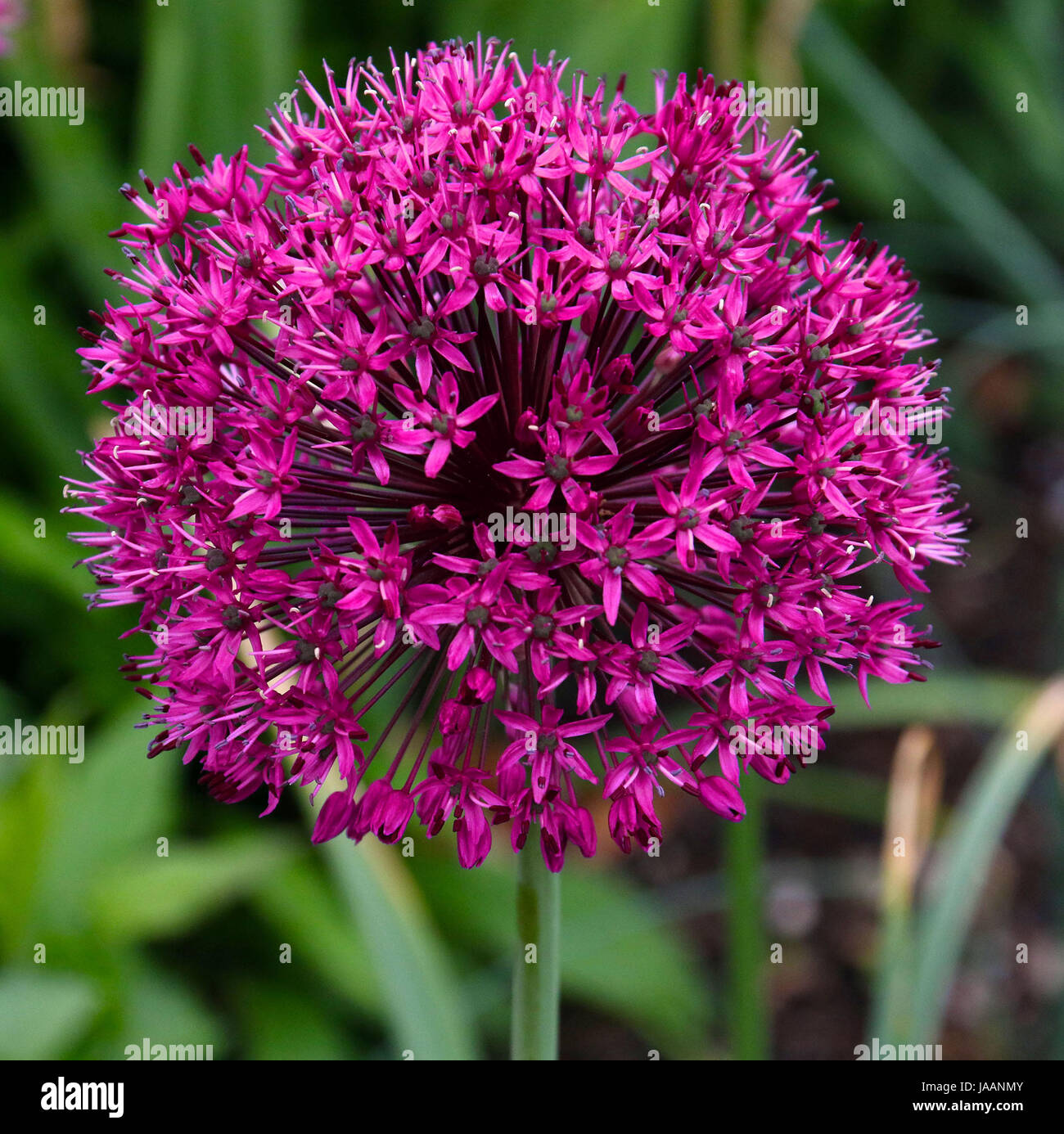 Purple cone flower with green leaves - Stock Image