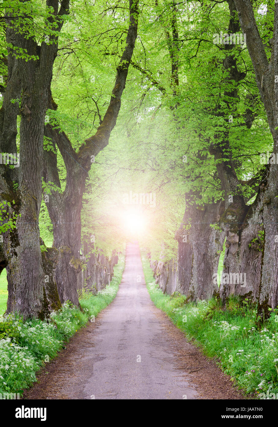 linden tree avenue with small path inside and spiritual and mystical sunlight at the end - Stock Image