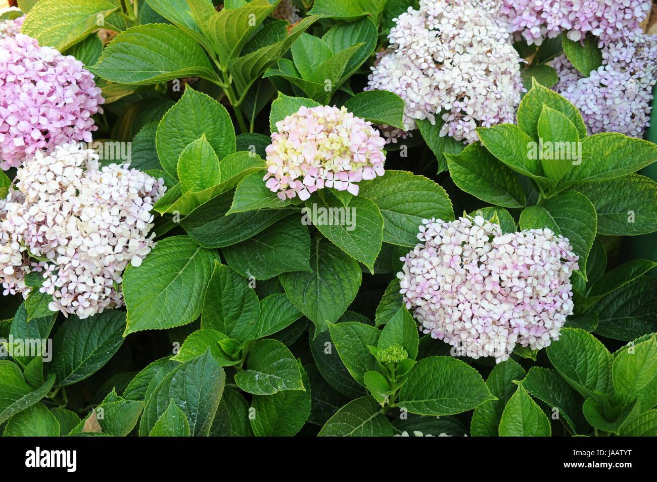 spain - hydrangeas flower Stock Photo