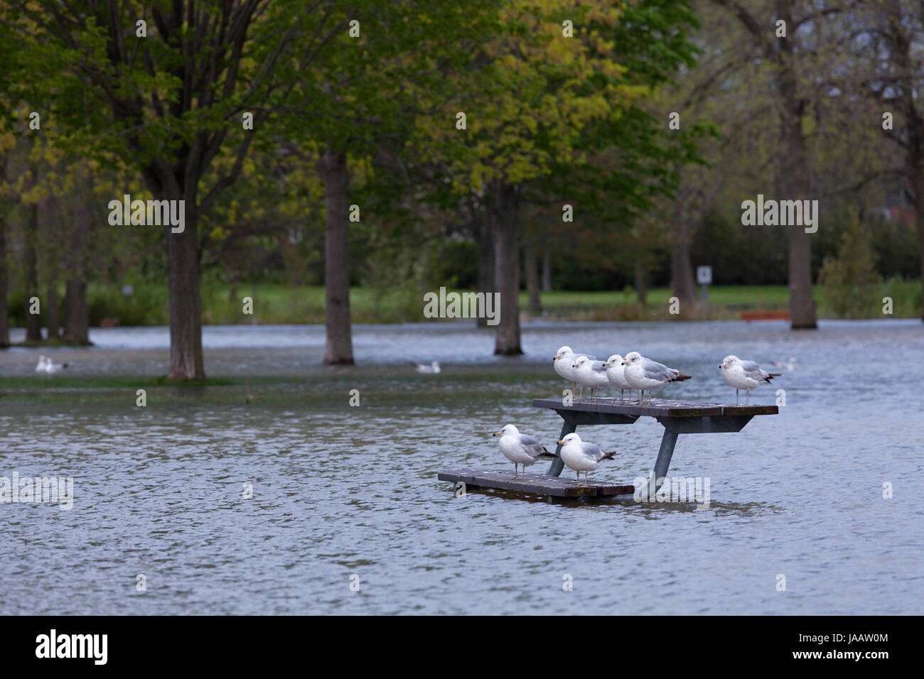 Ring-billed gulls 'Larus delawarensis' standing on a park bench surrounded by flood water at a flooded park - Stock Image