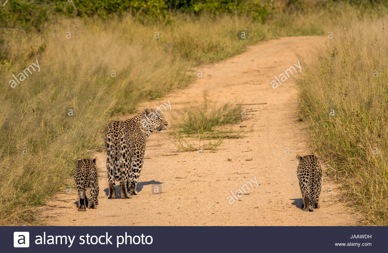 Female leopard and cubs, Panthera pardus pardus, walking on bush track, Sabi Sands Safari game reserve, Greater - Stock Image