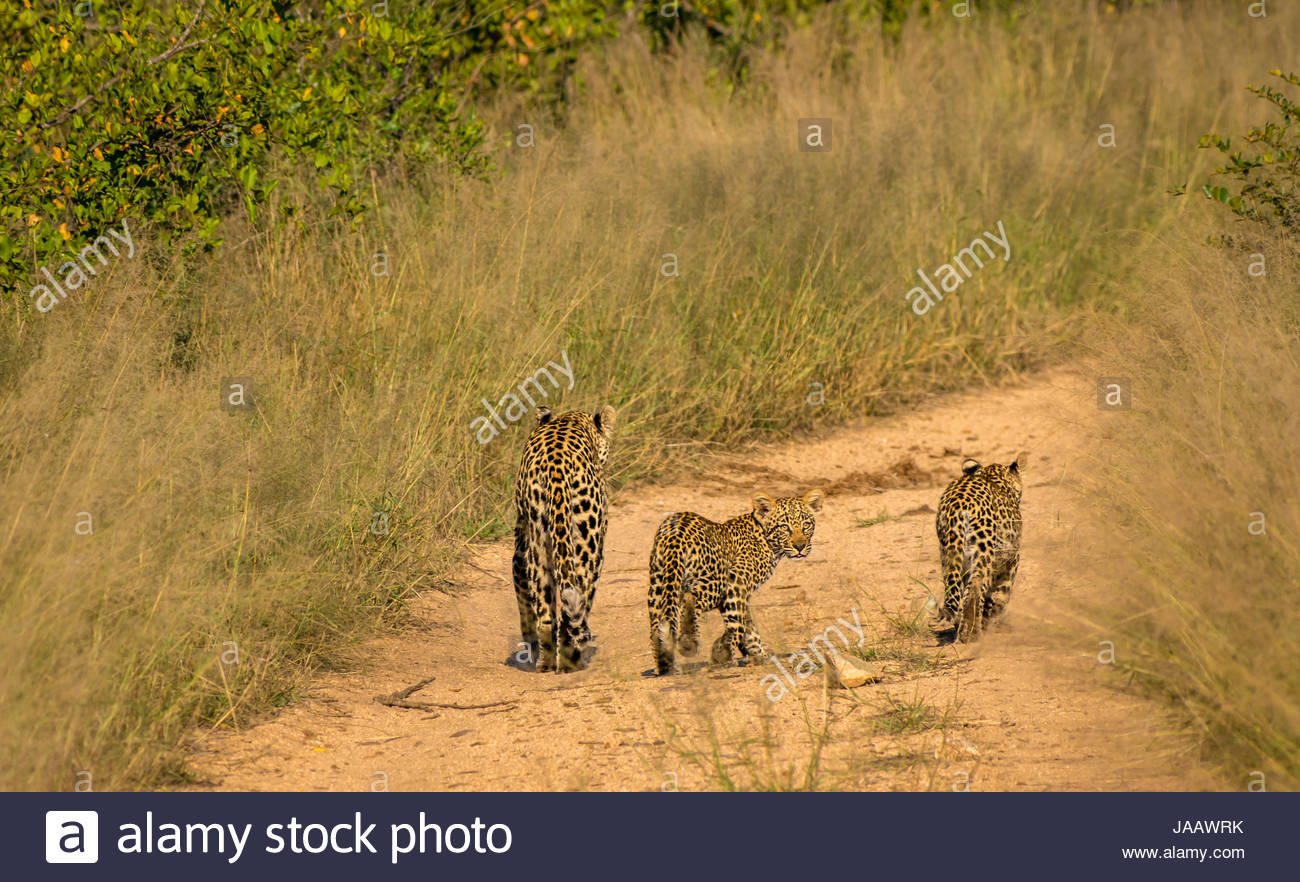 Mother leopard and cubs, Panthera pardus pardus, walking on dirt bush track, Sabi Sands Safari game reserve, Kruger, Stock Photo