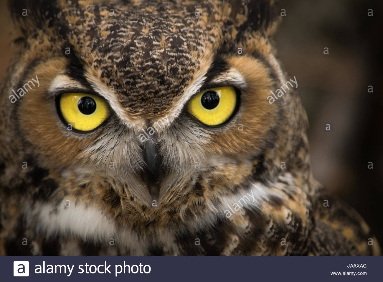 Close-up of common great horned owl in Central Oregon, United States. eyes of great horned owls are amongst the - Stock Image