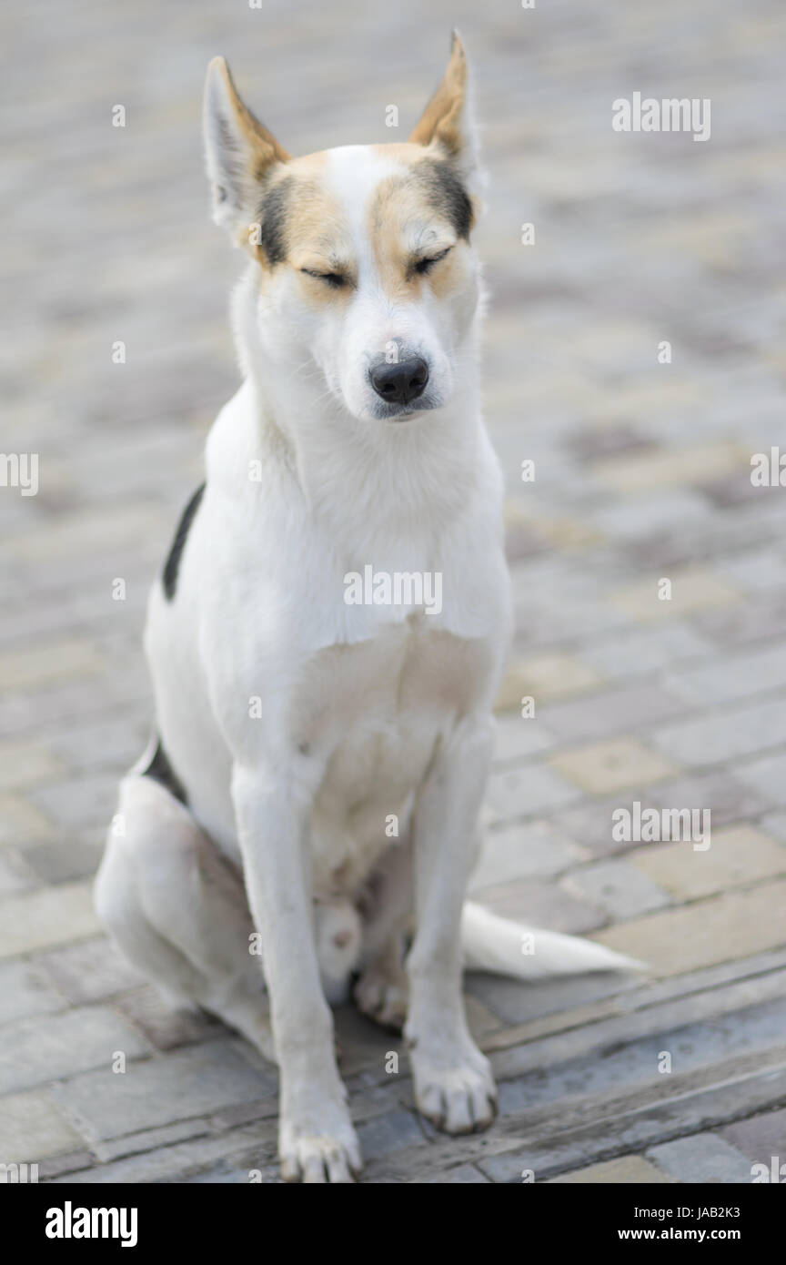 Nice portrait of stray cross-breed white dog drowsing while sitting on a street - Stock Image