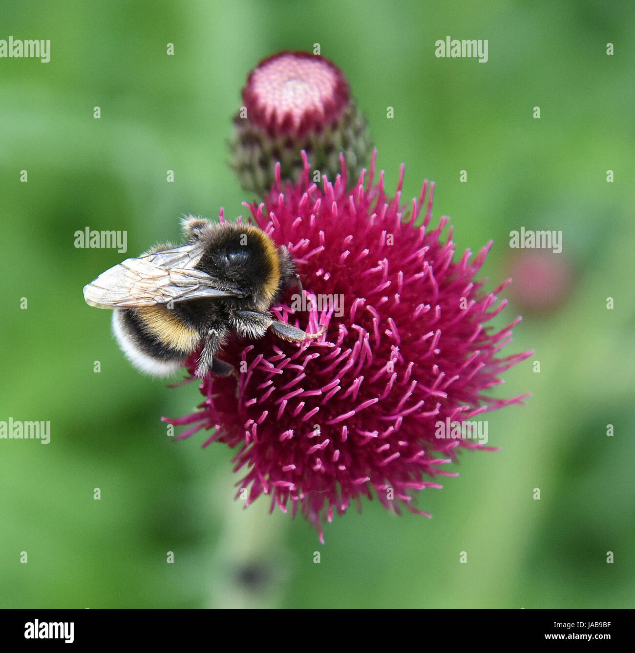 Macro of a Yellow black and grey bumblebee (Bombus Terristris) feeding on a Red Plume Thistle 'Atropurpureum' - Stock Image