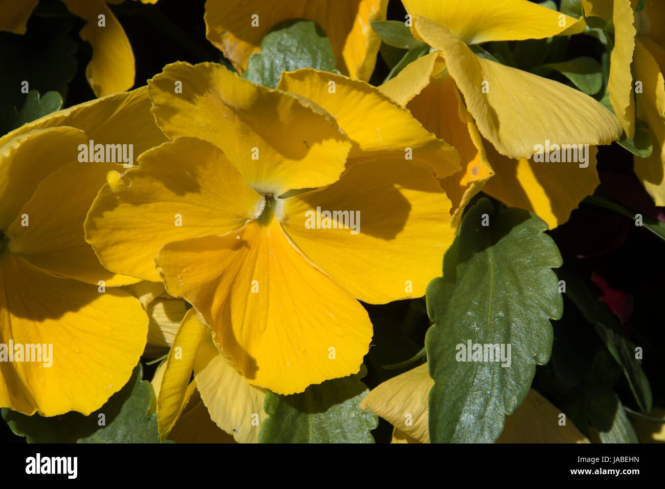 yellow pansy - Stock Image
