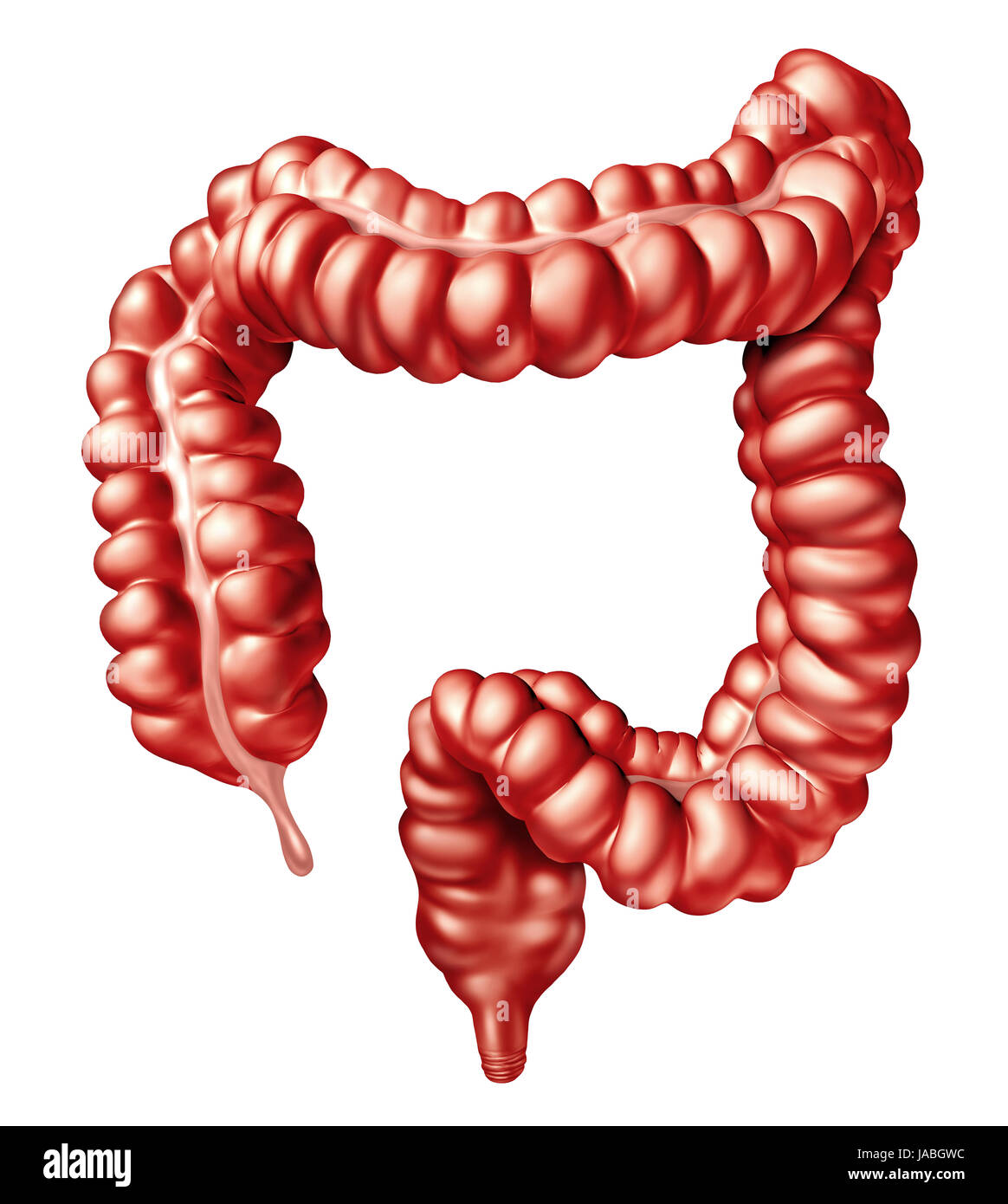 large intestine or colon human bowel illustration as a digestive
