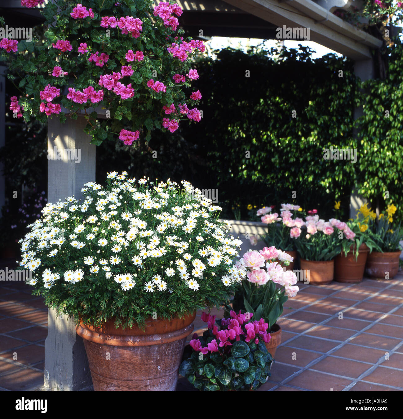 Small courtyard garden with colourful pots of daisies, cyclamen, tulips and pelargoniums, Australia - Stock Image