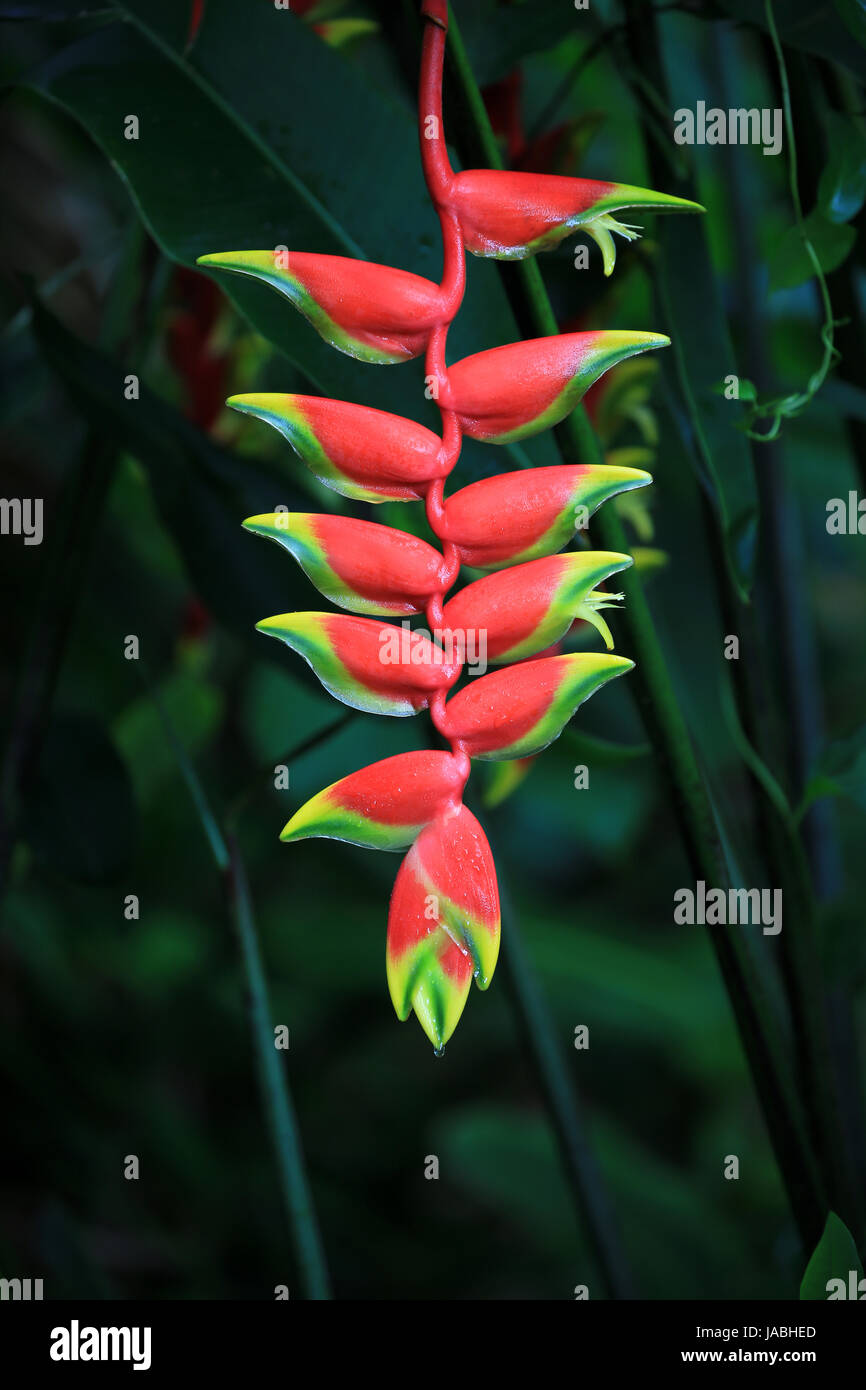 Heliconia flower, Hawaii - Stock Image