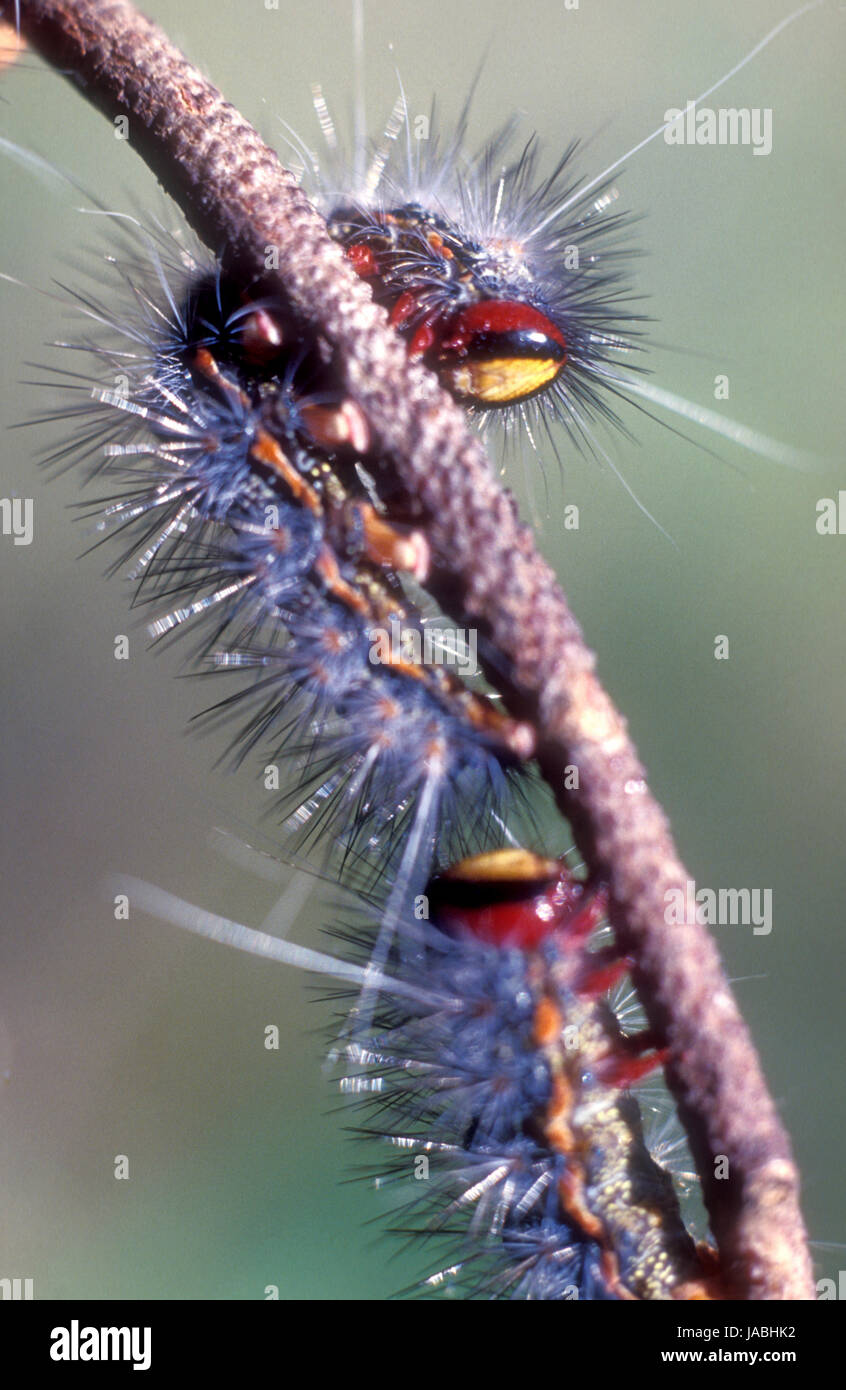 Australian Lepidoptera (moths and butterflies) contain several species of caterpillars that are armed with stinging - Stock Image