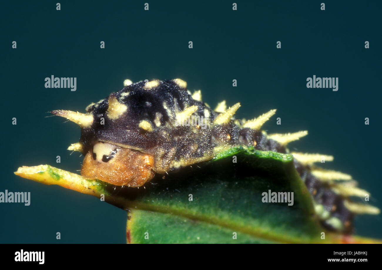 A cup moth caterpillar on eucalyptus leaf. Cup moths have clusters of spines on their bodies. - Stock Image