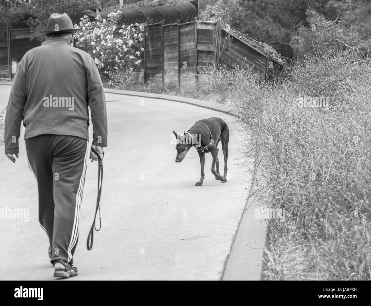 Man walking dobermann - Stock Image