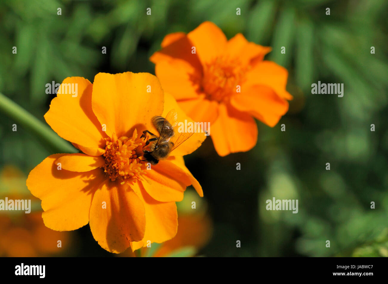 tagetes with bee - Stock Image